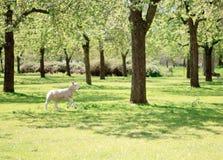 Um cordeiro que corre no pomar bonito Fotografia de Stock Royalty Free