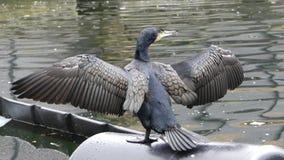 Um cormorão com crista dobro muito colorido que seca suas asas no canal grande da união, em Londres fotografia de stock royalty free