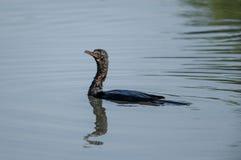 Um cormorão indiano surge após um mergulho fotos de stock