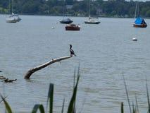 Um cormorão senta-se em um ramo colado em um lago foto de stock