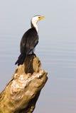 Um Cormorant Pied pequeno fotografia de stock royalty free