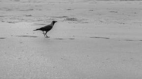 Um corvo fotografia de stock