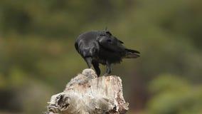 Um corvo come um coelho video estoque