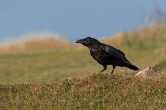 Um corvo comum empoleirou-se em um penhasco do mar Dorset, Reino Unido foto de stock