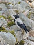 Um corvo encapuçado do pássaro nas pedras Imagens de Stock