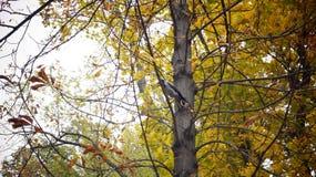 Um corvo entre os ramos Fotos de Stock Royalty Free