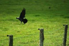 Um corvo está voando afastado fotografia de stock