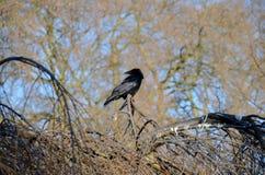 Um corvo na árvore imagem de stock