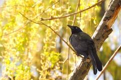 Um corvo na árvore Foto de Stock Royalty Free