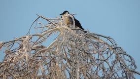 Um corvo na parte superior do birche gelo-coberto fotografia de stock