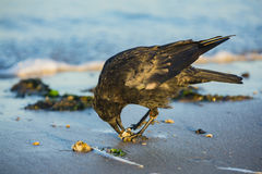 Um corvo na praia Imagens de Stock Royalty Free
