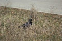 Um corvo que forrageia para o alimento na terra fotografia de stock