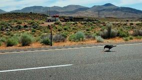 Um corvo que pegara alguma matança de estrada em algum lugar ao longo da estrada 395 no deserto de Mojave em Califórnia como um c Imagem de Stock