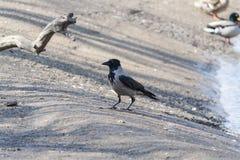 Um corvo selvagem grande foto de stock