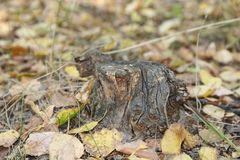 Um coto velho na floresta do outono imagens de stock royalty free