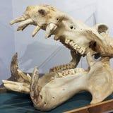 Um crânio do hipopótamo, museu internacional dos animais selvagens, Tucson, Ari Foto de Stock