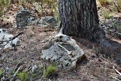 Um crânio seco real da cabra fotografia de stock