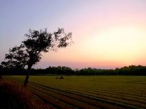 Um crepúsculo em um campo do arroz com uma árvore nova solitária e fileiras Fotografia de Stock