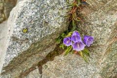 Um crescimento de flor cor-de-rosa bonito em uma rocha da montanha foto de stock