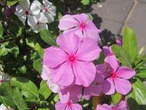 Um crescimento de flor cor-de-rosa bonito na terra imagem de stock