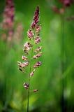 Flor da pradaria Fotos de Stock