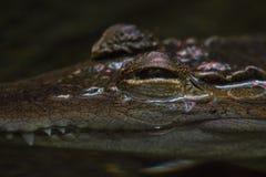 Um crocodilo adulto que espreita apenas acima do nível de água com ambos os olhos visíveis Foto de Stock
