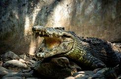 Um crocodilo grande com maxilas abertas e os dentes grandes imagens de stock
