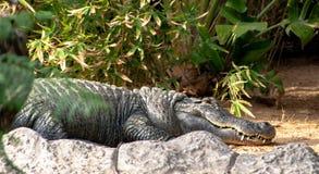 Um crocodilo grande do sono em uma pedra imagem de stock royalty free