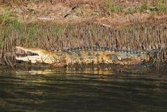Um crocodilo na borda da água fotografia de stock