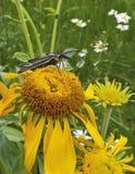 Um Ctenucha Tiger Moth em um girassol Fotografia de Stock Royalty Free
