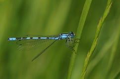 Um cyathigerum azul consideravelmente comum de Enallagma do Damselfly que empoleira-se em uma lâmina de grama fotografia de stock royalty free