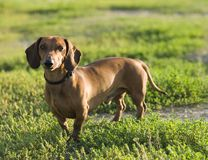 Um dachshund Imagens de Stock Royalty Free