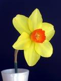 Um daffodil em um vaso Imagem de Stock