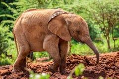 Um de muitos elefantes orphant novos no orfanato do elefante de Sheldrick em Nairobi (Kenya) Foto de Stock