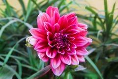 Um delilah cor-de-rosa bonito com terra da parte traseira do verde Imagem de Stock