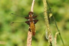 Um depressa Largo-corpóreo consideravelmente fêmea de Libellula do caçador que empoleira-se em um junco fotografia de stock