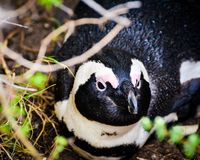 Um descanso africano do pinguim fotografia de stock royalty free