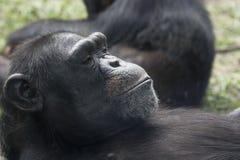 Um descanso do chimpanzé foto de stock royalty free