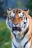 Um descanso Siberian psto em perigo raro do tigre. Fotos de Stock