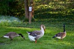 Um destes gansos não é como o outro Foto de Stock Royalty Free