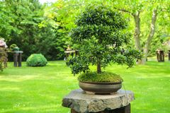 Um detalhe de um bonsai imagem de stock royalty free