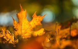 Um detalhe de folhas coloridas outonais na intensidade da luz solar fotos de stock
