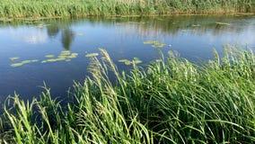 Um dia de verão em um rio pequeno com juncos, lírios de água na água imagens de stock royalty free