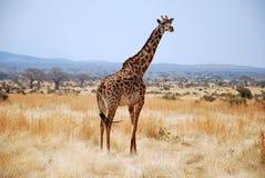 Um dia do safari em Tanzânia - África - girafa fotos de stock