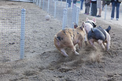 Um dia nas raças pequenas do porco Fotos de Stock Royalty Free