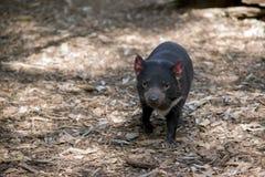 Um diabo tasmaniano fotografia de stock royalty free