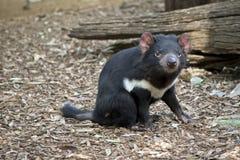 Um diabo tasmaniano imagem de stock royalty free