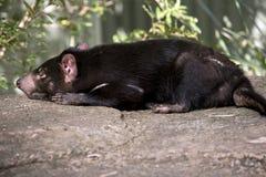Um diabo tasmaniano fotos de stock royalty free