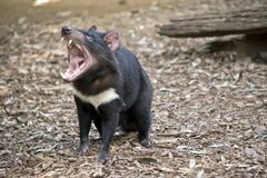 Um diabo tasmaniano imagens de stock royalty free