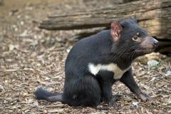 Um diabo tasmaniano imagens de stock